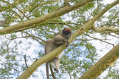 Red Colobus Monkey in a Tree — Stock Photo