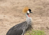 Grey Crowned Crane in the Wilds — Stock Photo