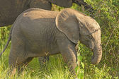 Baby Elephant in the Wilds — Stock Photo