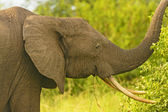 African Elephant with large tusks — Stock Photo