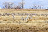 Sandhill Cranes on A Fallow Field — Stockfoto