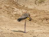 Maribou Stork preening on the River Shore — Stock Photo