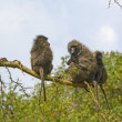 Baboon Family in a Tree — Stock Photo