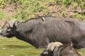 Oxpecker on a Cape Buffalo — Stock Photo