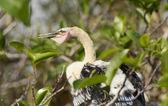 Baby Anhinga on its Nest — Stock Photo