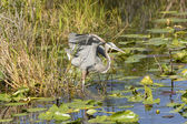 Great Blue Heron in a Marshland — Stock Photo