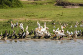 Pelicans and Cormorants on a River Shore — Stock Photo