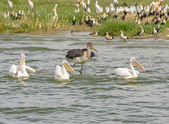 Marabou Stork chasing Three Great White Pelicans — Stock Photo