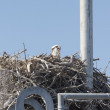 Osprey on a Nest on a Radio Tower — Stock Photo #49241099