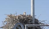Osprey on a Nest on a Radio Tower — Stock Photo