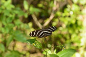 Zebra Longwing Butterfly in a Sub-tropical forest — Stock Photo