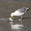 Herring Gull eating a Dead Fish on the Beach — Stock Photo #49453011