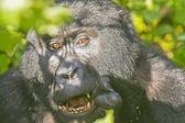 Gorille de montagne, manger dans la forêt — Photo