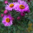 Nice autumn purple chrysanthemum flower close-up — Stock Photo