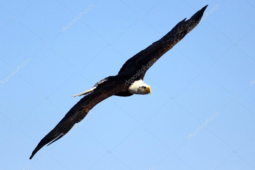 飞翔的鹰 - 图库图片
