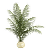 Areca palm houseplant — Stock Photo