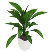 Leafy aspidistra houseplant — Stock Photo