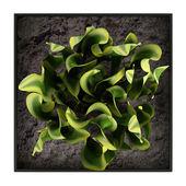Sansevieria trifasciata, the snake plant — Stock Photo