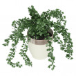 Stock Photo: Ivy trailing over container