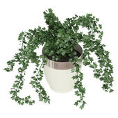 Ivy trailing over a container — Stock Photo