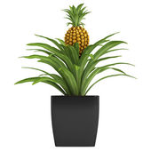 Fruiting pineapple plant — Stock Photo