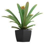 Flowering guzmania plant — Stock Photo