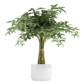 Ornamental bambpoo houseplant — Stock Photo