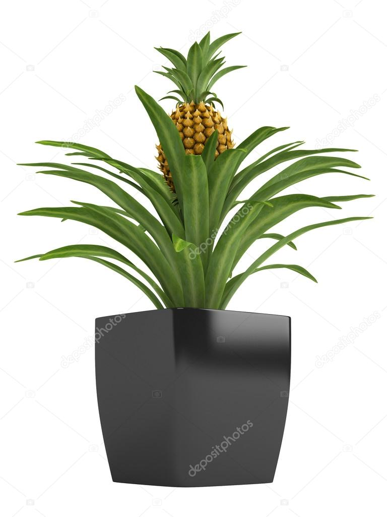 fruchtgem se ananas pflanze stockfoto nmorozova 13272399. Black Bedroom Furniture Sets. Home Design Ideas