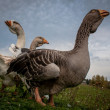 Stock Photo: Geese on grass