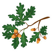 Oak branch with leaves and acorns — Stock Photo