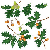 Oak branches with leaves and acorns — Stock Vector