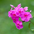 Blossoming bright pink phlox flowers — Stock Photo