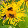 Three bumblebees pollinate one yellow flower — Stock Photo