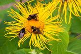 Three bumblebees pollinate one yellow flower — Stock Photo
