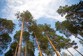 Looking up in the pine tree forest — Stock Photo