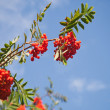 Branch of a rowan-tree with bright red berries — Stock Photo