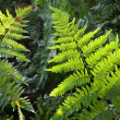 Stock Photo: Fresh green fern