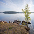 Little birch tree on the coast of Saimaa lake - Stockfoto