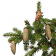 Royalty-Free Stock Photo: Fir tree branch with cones isolated on white