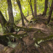 Royalty-Free Stock Photo: Mysterious tree roots on the hill