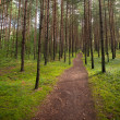Lane in the pine tree forest — Stock Photo
