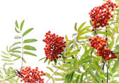 Rowan-tree with bright red berries isolated on white — Stock Photo