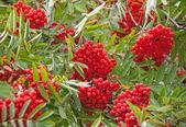 Natte rowan boom met heldere rode bessen — Stockfoto