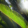Royalty-Free Stock Photo: Fresh green palm leaves with sunbeam