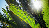 Fresh green palm leaves with sunbeam — Stock Photo