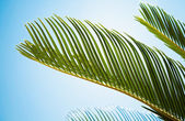 Fresh green palm leaves in the sunshine — Stock Photo