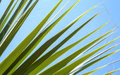 Closeup photo of fresh green palm leaves with fibers — Stock Photo