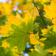 Stock Photo: Yellow and green autumn maple leaves background