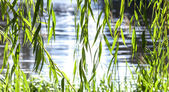 Green willow leaves with blue lake water background. — Stock Photo