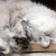 White lazy cat drowsing on the chair — Foto Stock